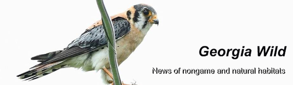 GaWild masthead: SE American kestrel (FWC Fish and Wildlife Research Institute)