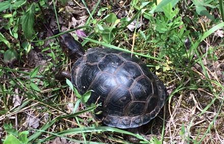 Black box turtle