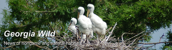 Georgia Wild: Wood stork nest