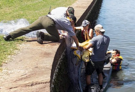 Removing sea turtle from moat