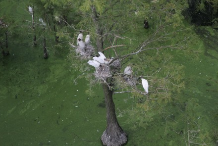 Wood stork colony
