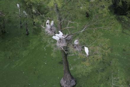 Wood stork colony