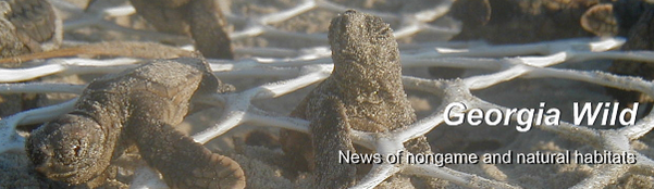 GaWild masthead: sea turtle hatchlings