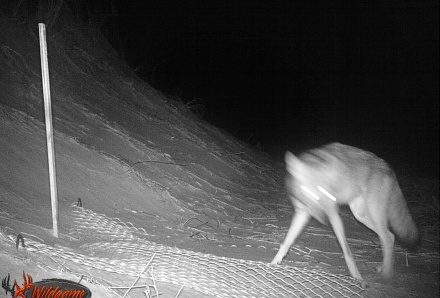 Coyote at Little St. Simons. Credit: Lauren Gingerella/Little St. Simons Island