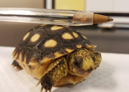 Gopher tortoise hatchling. Dan Quinn/UGA
