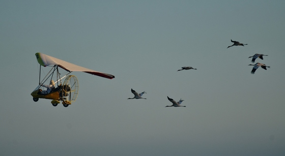 Young whoopers in flight. (Operation Migration)