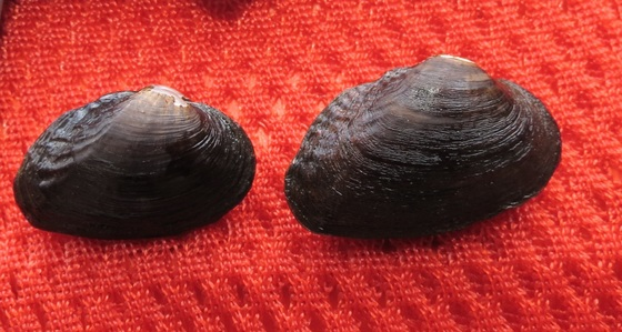 Suwannee moccasinshell mussels