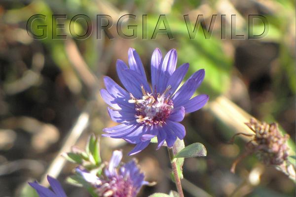 Georgia Wild masthead: Georgia aster