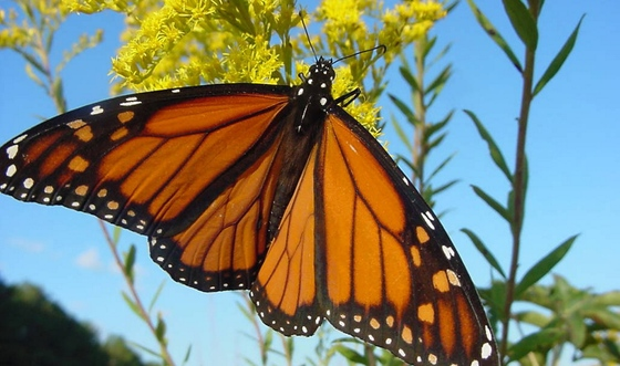 Monarch (USFWS)