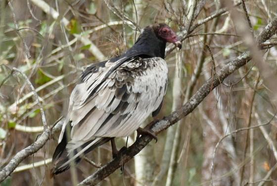 Leucistic turkey vulture (Dirk Stevenson/Orianne Society)