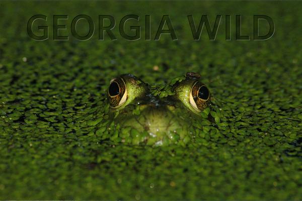 Georgia Wild: American bullfrog