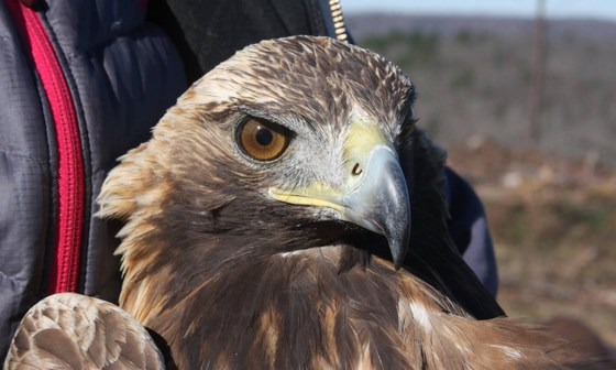 Golden eagle (Devil's Backbone Hunting Club)