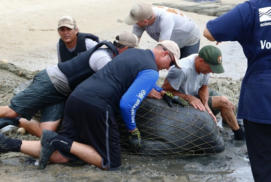Manatee capture. GaDNR under USFWS Permit MA 37808A-0