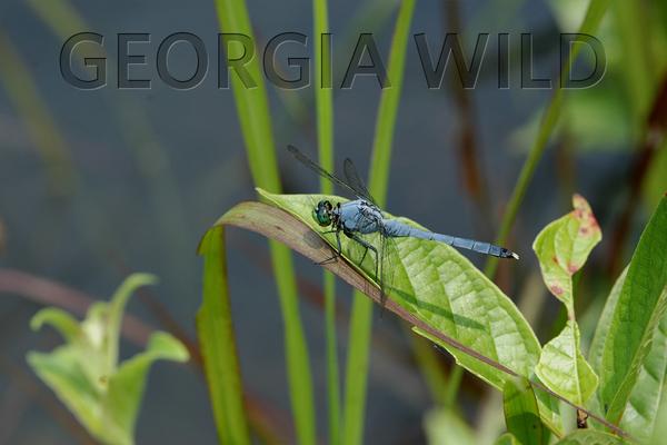 Georgia Wild masthead: eastern pondhawk