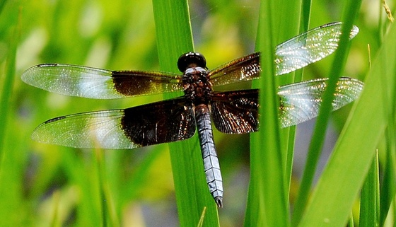 Widow skimmer. Terry W. Johnson