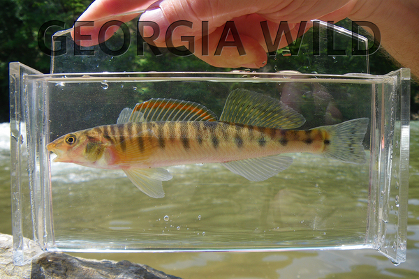 Georgia Wild masthead: mobile logperch