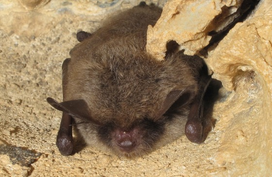 Little brown bat (Alan Cressler)