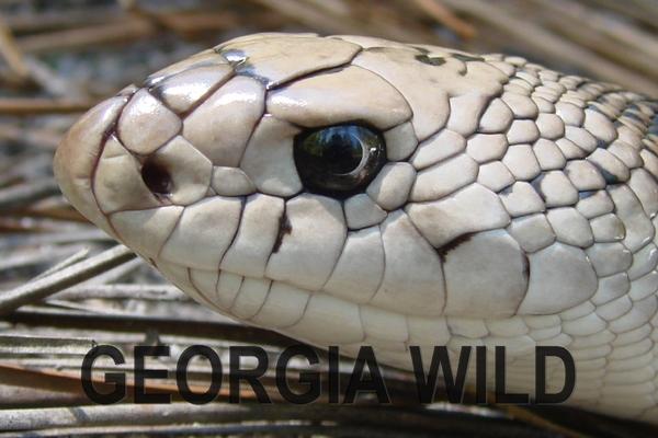 Georgia Wild masthead: pine snake
