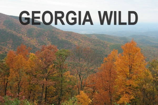 Georgia Wild masthead: fall colors on Cohutta