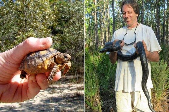 Juvenile gopher tortoise; eastern indigo snake