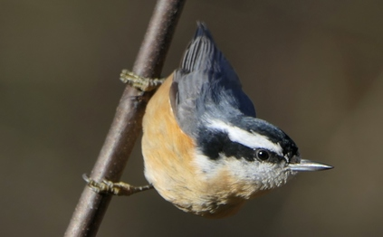 Red-breasted nuthatch (Linda May/DNR)
