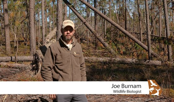 DNR's Joe Burnam discusses red-cockaded woodpecker work (DNR)