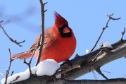 LCFPD Symbols of Illinois Cardinal