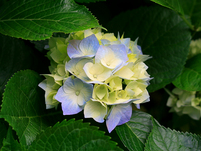 June OWH Wellness Watch hydrangeas