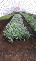 Image of food growing in hoop house.