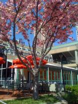 Picture of Harborplace Tree in Bloom with Outdoor Seating