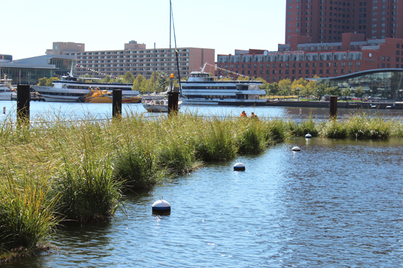 Photo of floating wetlands in front of World Trade Center Baltimore