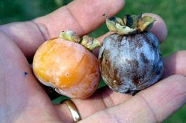 Photo of: Persimmon fruit