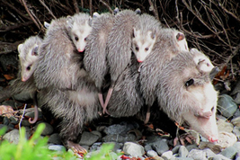 Photo of: Mama opossum carrying young