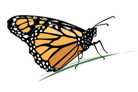 Drawing of: Monarch butterfly
