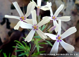 Photo of moss phlox
