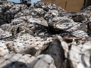 Photo of oyster shells by Mitch Cannon