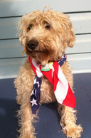 Dog wearing red, white and blue bandana.