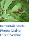 Browntail Moth. Photo: Maine Forest Service