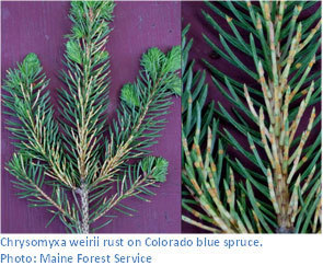 Chrysomyxa weirii rust on Colorado blue spruce.  Photo: Maine Forest Service