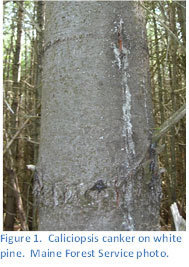 Caliciopsis canker on white pine.