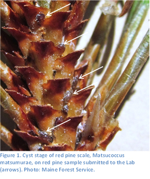 Red Pine Scale - Cyst Stage