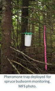 Pheromone trap deployed for spruce budworm monitoring.  MFS photo.