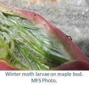 Winter moth larvae on maple bud.  MFS Photo.