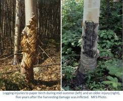 Logging injuries to paper birch during mid-summer (left) and an older injury (right), five years after the harvesting damage was inflicted.  MFS Photo