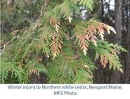Winter injury to Northern white-cedar, Newport Maine. MFS Photo.