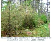Young white pine regeneration heavily infected with brown spot needle disease, Bethel, Maine on June 14, 2011.  MFS Photo.