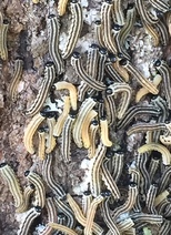 A mass of wandering European pine sawfly.  Photo: Fred Woodbury