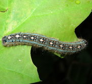 Late instar forest tent caterpillar with a line of footprint-shaped spots down its back.  Photo: C. Donahue, MFS