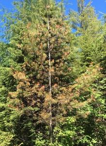 Severe pine leaf adelgid damage on white pine in northwest Piscataquis County.  Photo: J. Harriman, MFS
