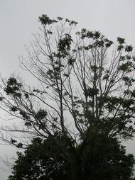 White ash tree heavily defoliated from ash leaf rust, Thomaston, Maine. Photo: W. Ostrofsky, MFS